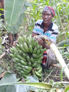 Sinyati, growing green bananas